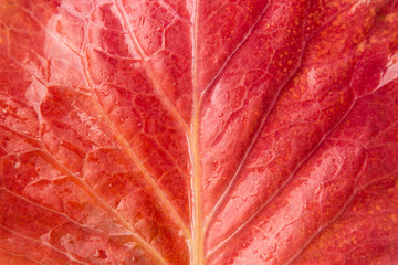 macro beautiful red wet leaf with water