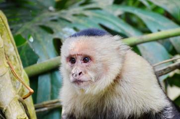 White-headed capuchin monke
