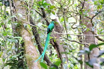 Resplendent quetzal - male