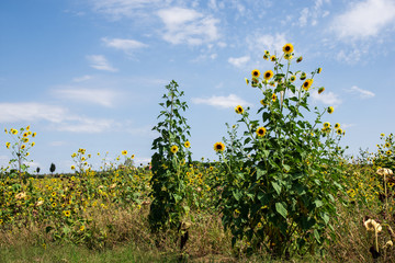 Sunflower fields lining the Tuscan countryside near Pienza, Italy