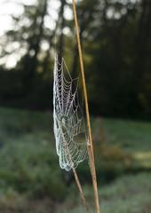 Spinnennetz in Nahaufnahme mit Morgentau. Standort: Deutschland, Nordrhein Westfalen