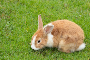 Calm and sweet little brown rabbit sitting on green grass, cute bunny