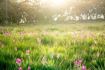 Sunset at Pink Flower Field in Thailand.
