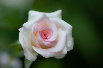 Pink rose close up design for natural valentine background