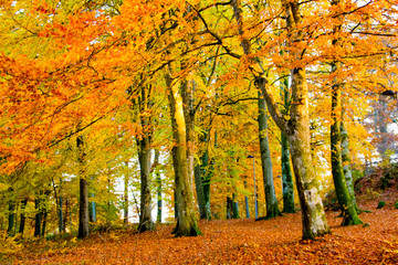 Colorful orange and red autumn trees with leaves during fall in a forest