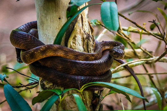 Brown snake coiled on a tree in Australia