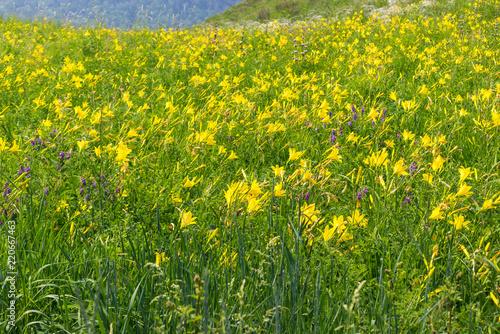 Summer Meadow Of Wild Lemon Yellow Daylilies Or Hemerocallis Flower