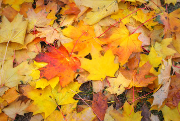 Autumn colorful orange, red and yellow maple leaves as background Outdoor.