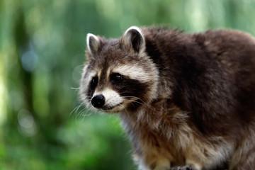 Portrait of of lotor common raccoon (procyon lotor)