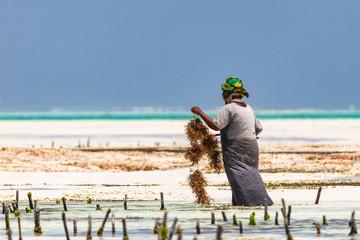 Poster Zanzibar Woman working in sea weed plantation. Paje, Zanzibar, Tanzania.