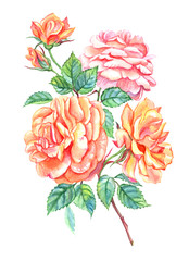 Lush orange and pink roses, watercolor drawing on white background, isolated with clipping path.