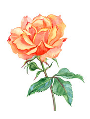 Orange rose, watercolor drawing on white background, isolated with clipping path.