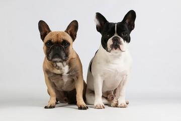 Foto auf Gartenposter Französisch bulldog two beautiful french bulldogs are sitting together in the studio
