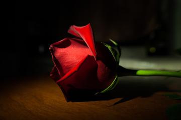 beautiful red rose in the dark