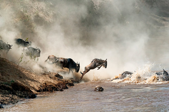 Wildebeest Leaping in Mid-Air Over Mara River