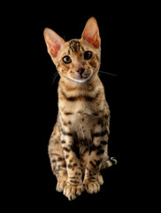 Portrait of young bengal purebred cat