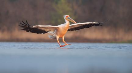 Great white pelican landing. Pelecanus onocrotalus