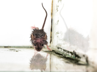 mouse rodent on white background