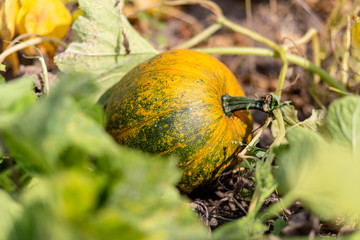 Pumpkins growing in a pumpkin patch