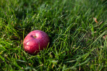 Red apple on the grass