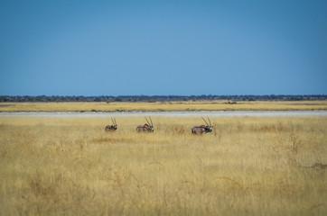 Gruppe Oryx  Antilopen