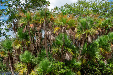 Paurotis palm trees (Acoelorrhaphe Wrightii) a.k.a. Everglades palms - Long Key Natural Area, Davie, Florida, USA