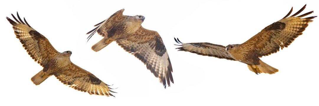 Set of Buzzard in flight isolated on white (Buteo rufinus)
