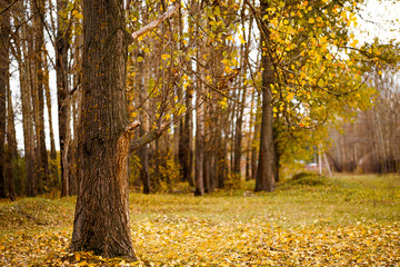 Autumn village landscape, tree and fallen yellow leaves in the forest