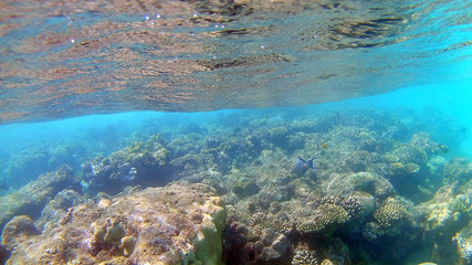 Fish-surgical Akantnuridae, Seabreams and swim around a bright colored coral reef in the Red Sea in Hurghada, Egypt, sunlight, waves, under water