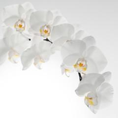 Fototapeta biały storczyk na białym tle