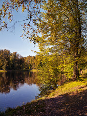 A tree with yellow leaves in autumn in sunny weather by day on the shore of a lake