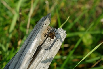 Brown brown spider close-up on old wood on blurred green background