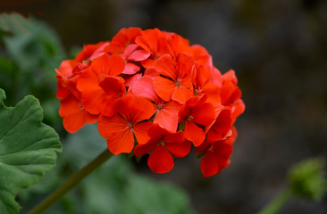 Red geranium flowers in a summer garden.