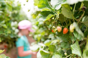 Self picking at Agronen raspberries in Gedera