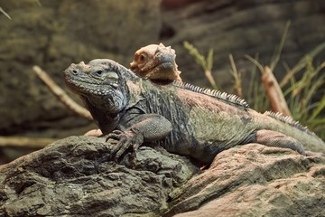 Iguana resting position