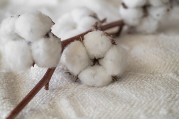 Cotton with warm sweater. Trendy autumn background with dried cotton. Delicate white cotton flowers on a wooden board