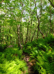 a pathway through green summer woodland with vibrant green foliage and sunlit ferns on the forest floor with blue sky behind the trees