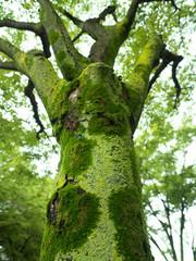 苔むした樹木