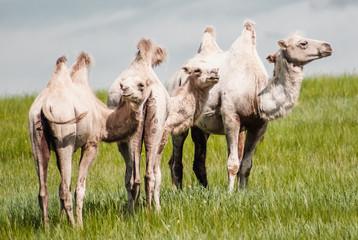 Camels on a field. Beginning of the Gobi desert
