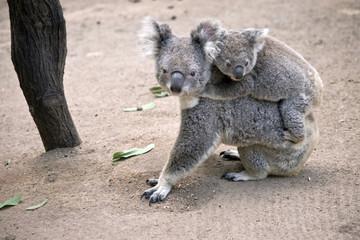 koala with joey on her back