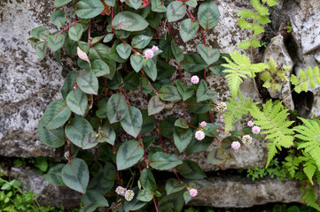 little pink flowers and green levaes on rock wall