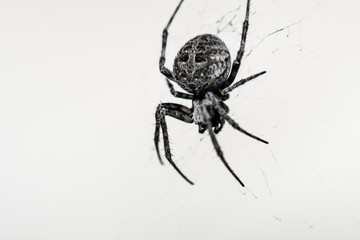 Big spider creating a spiderweb on isolated white background,Portrait macro nature of wildlife.