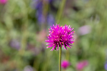 Purple flower blooming closeup with blurred background.