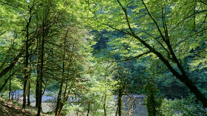 Yew-boxwood grove in Sochi. Deep forest.