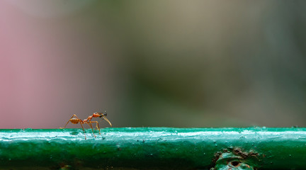 Big red ant kill the smaller black ant and bring it to eat