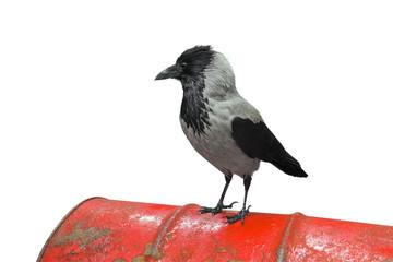 Krähe auf Metallfass - freigestellt