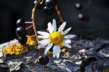 Prunus padus (bird cherry, hackberry, hagberry, Mayday tree) black berries and daisy flowers on gray wooden background with yellow moss