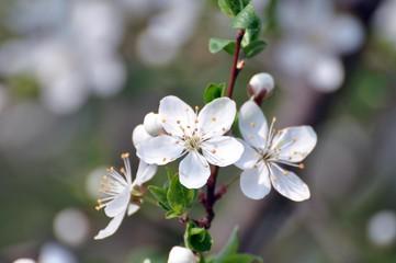 Blüte der Wildpflaume
