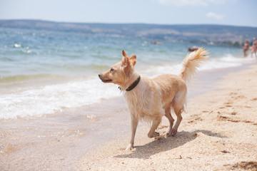beautiful dog runs along the beach, looks at the sea. vacation