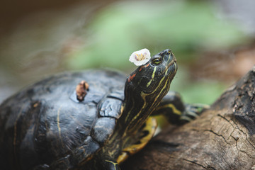 The tortoise lies on a log with a flower on its head, resting